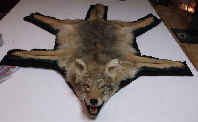 Coyote Rug Wausau - Bear Rugs Wisconsin - Animal Rug Taxidermist Wausau WI
